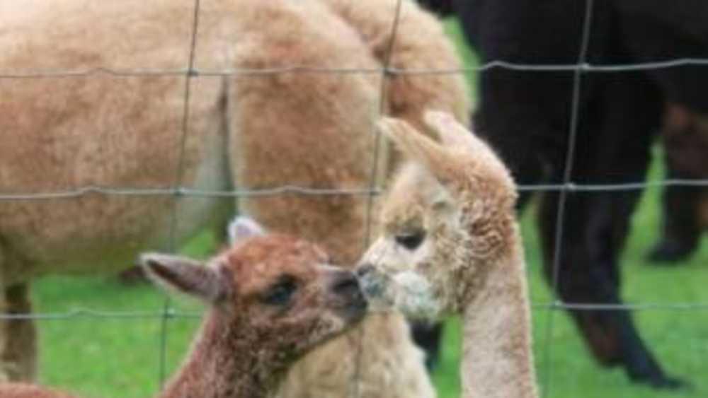 Crystal Lake Alpaca Farm And Boutique Michigan