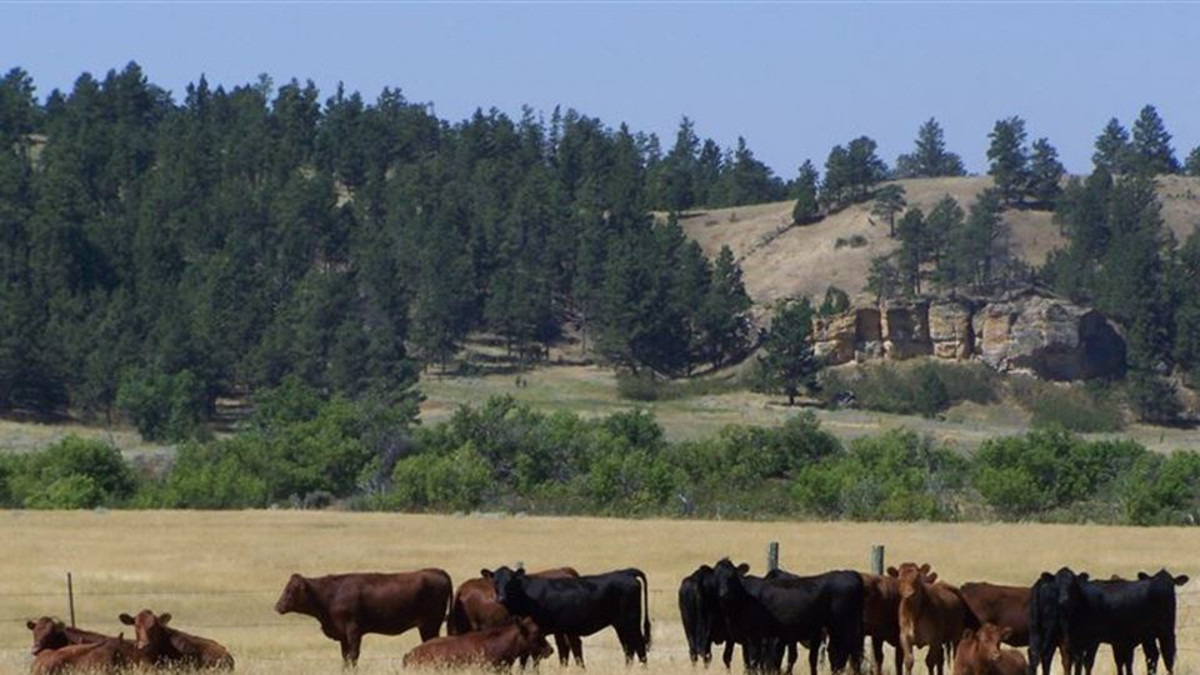 Guests at the ranch can activity participate in ranch activities, including working with the cattle!