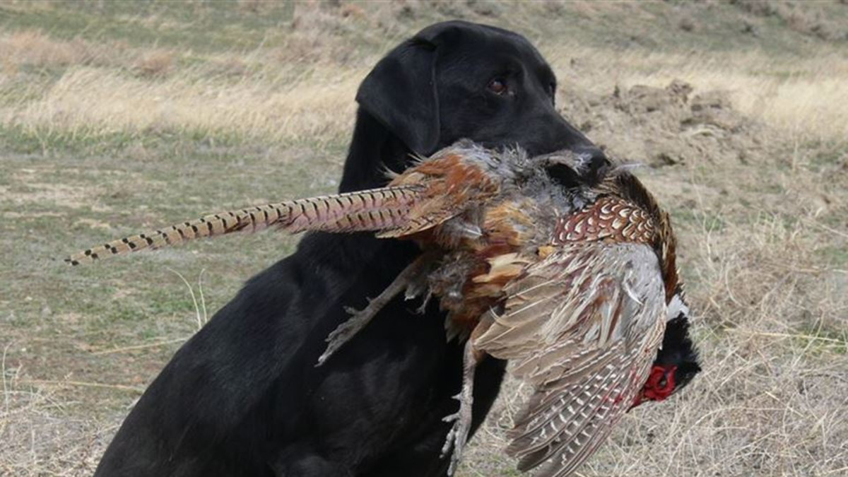 One of Our Bird Dogs Doing There Job