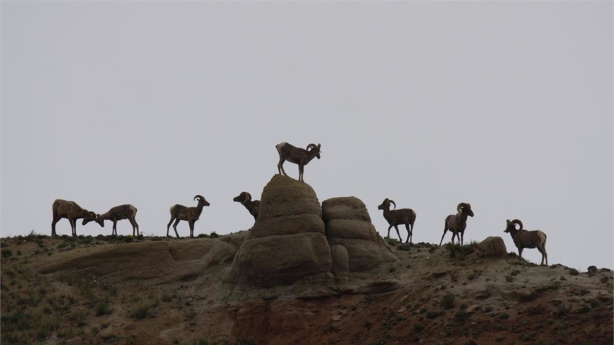 Bighorn rams play in the badlands near Dubois, WY. Photo by Bruce S. Thompson, Pangraphics LLC.