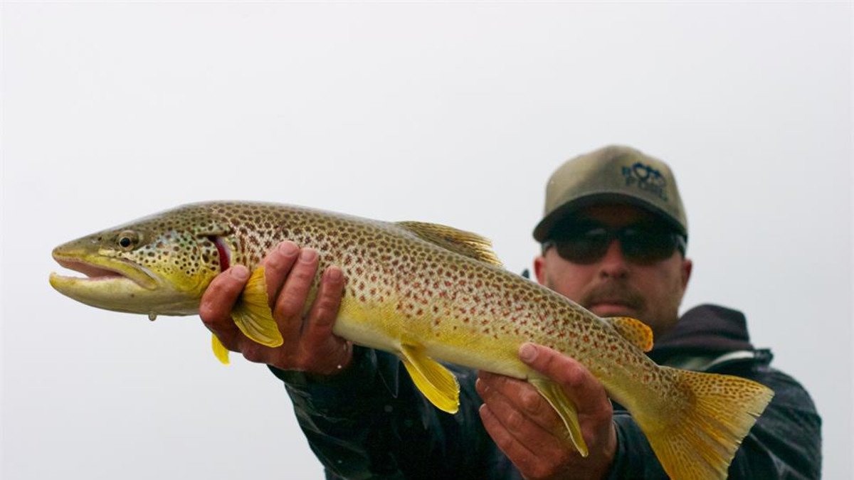 Rainy day brown trout