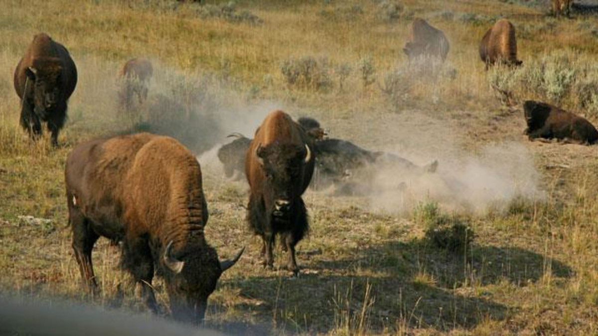 Bison roaming Yellowstone National Park