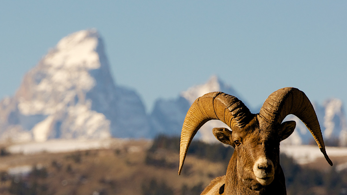 Wildlife Viewing In Wyoming, Jackson Hole