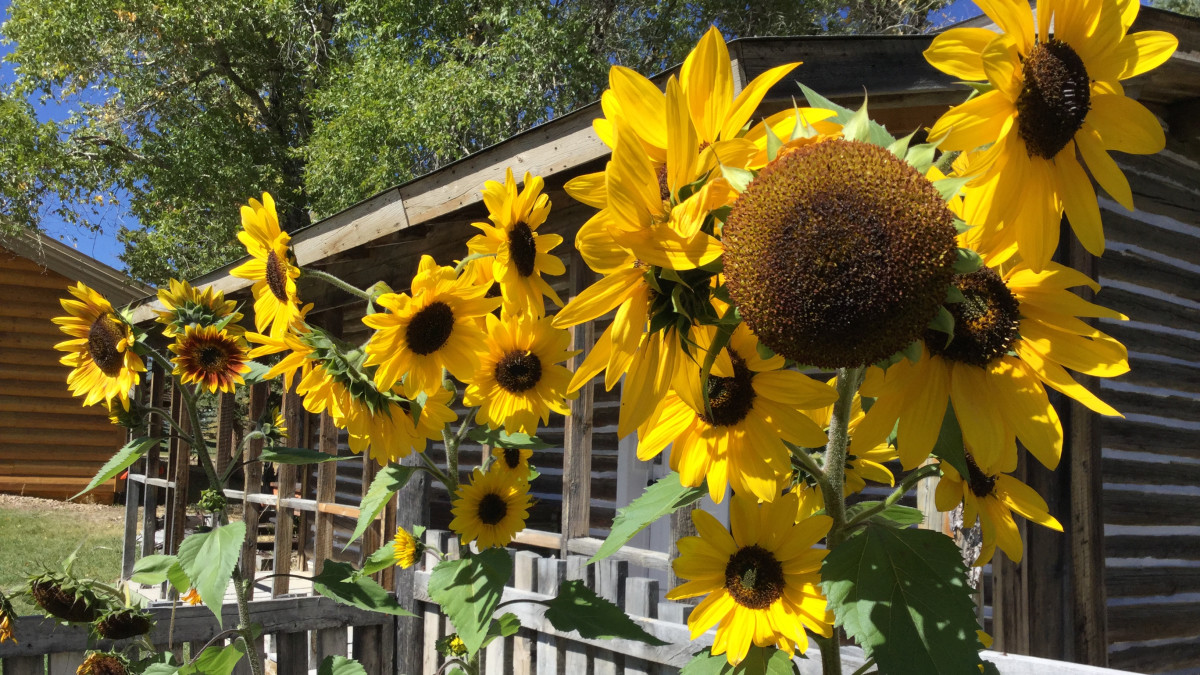 Sunflowers at the GEM