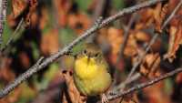 Yellow Throat KBF Coop.jpg