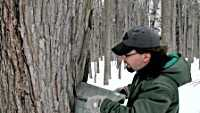 Tapping a maple tree at Hartwick Pines