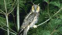 DNR-WILDLIFE_AND_HABITAT-WILDLIFE_DISEASE-BY_SPECIES-BIRDS- LongEaredOwl.jpg