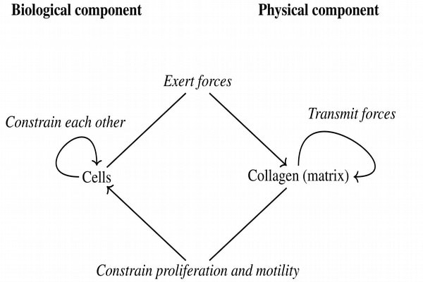 Theoretical articulation of cells and collagen for mathematical modeling