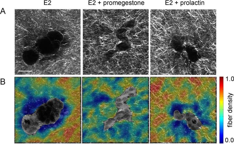 Effect of exposure to hormones on epithelial morphogenesis.