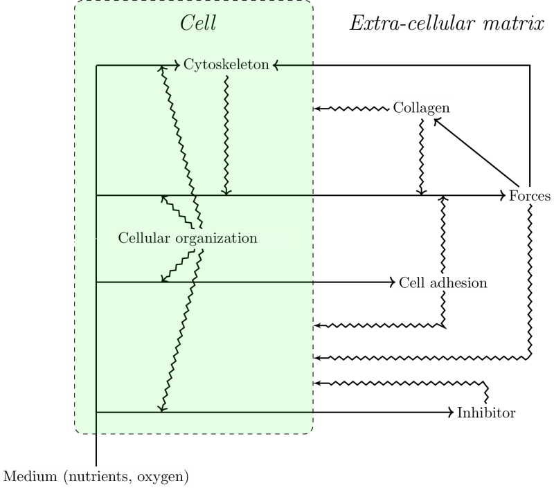 Schematic representation of the theoretical model.