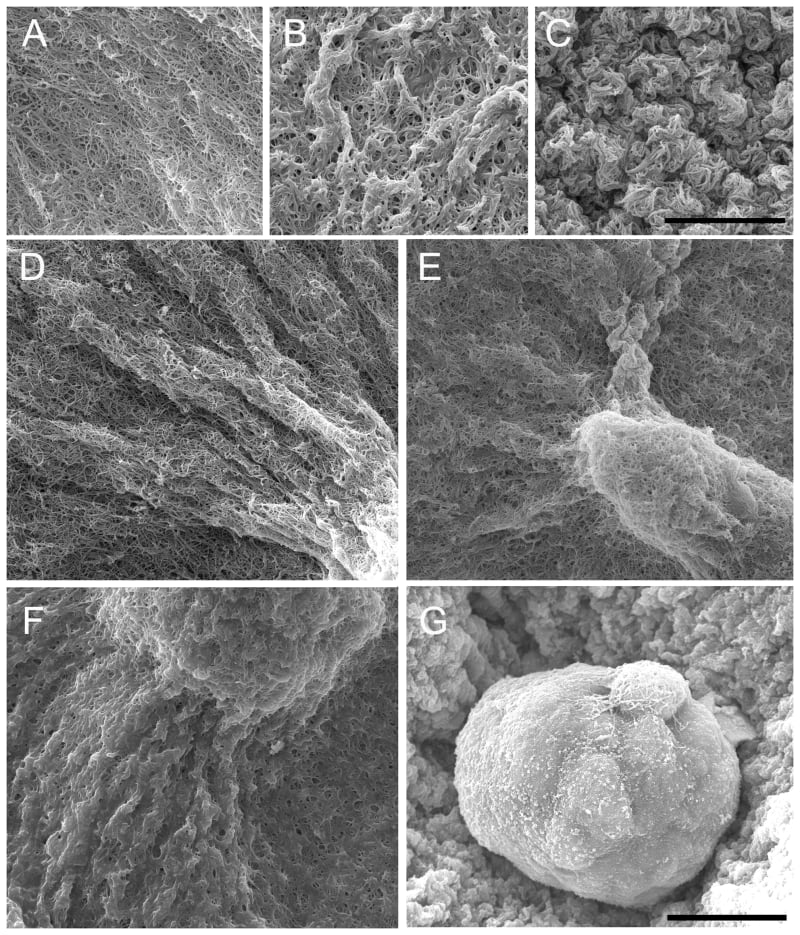 SEM images of epithelial structures and their matrix at day-5.