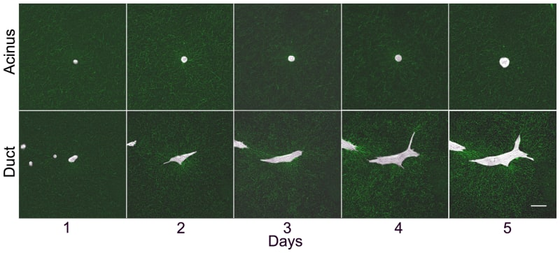 Time-course of epithelial morphogenesis.