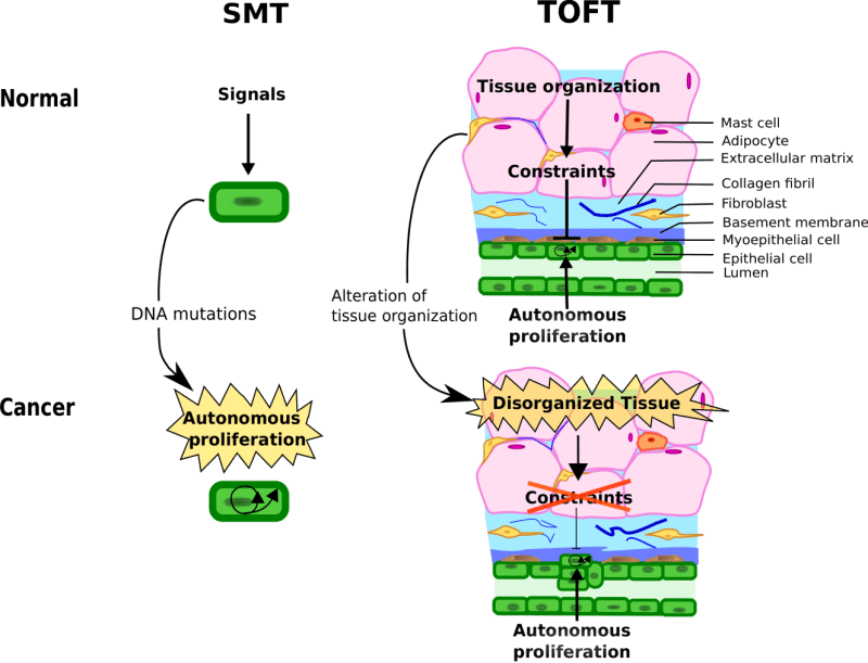 Tissue stability and carcinogenesis in smt and toft, the example of mammary glands.