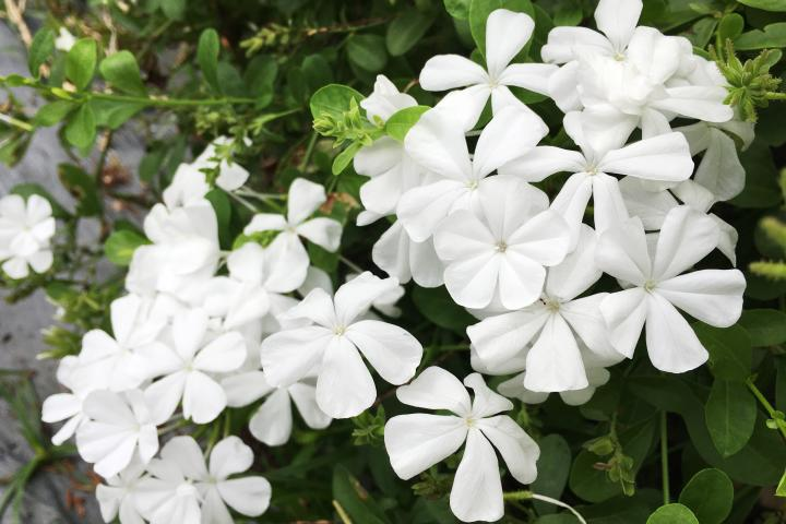 Hoa bạch xà - 0
