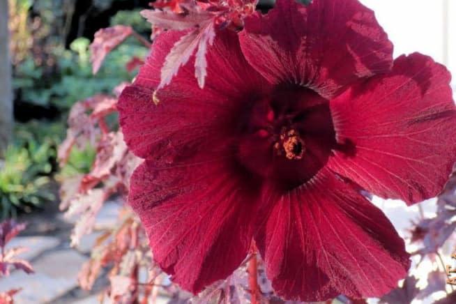Bụp giấm (hoa đỏ) - 0