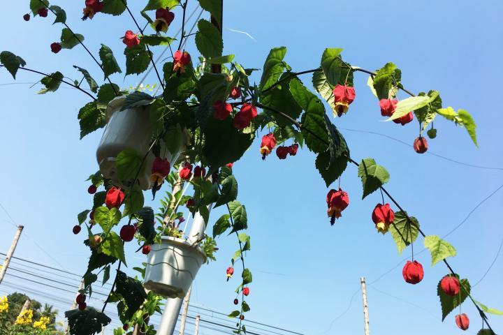 Hoa bụp lồng đèn - 0
