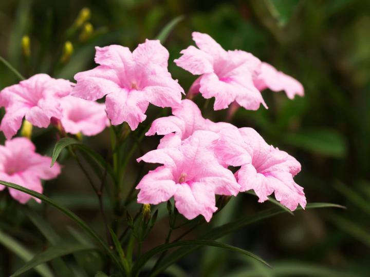 Hoa chiều tím (hồng, cao) - 0