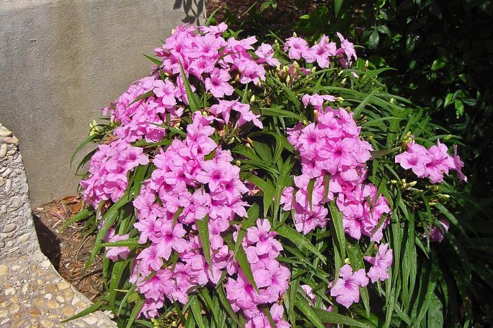 Hoa chiều tím (hồng, lùn) - 0