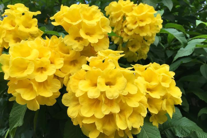 Cây Hoa Chuông Vàng