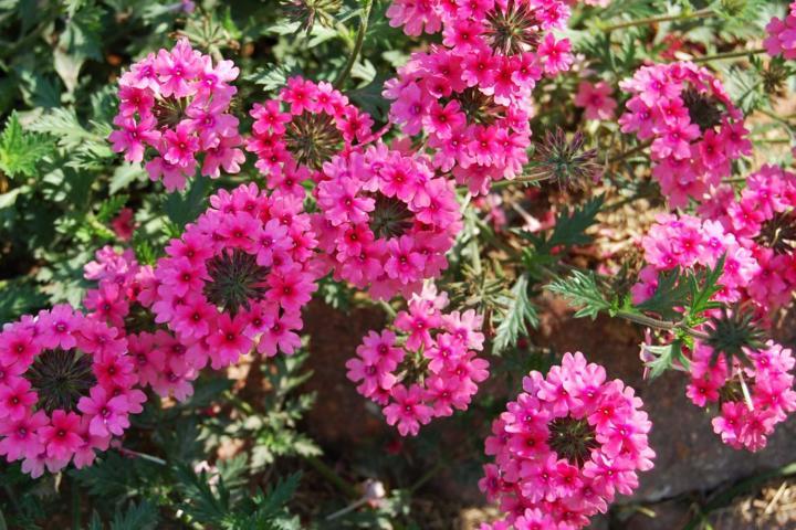 Hoa cúc Indo (hồng) - 0