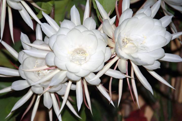 Hoa quỳnh (hoa lớn) - 0