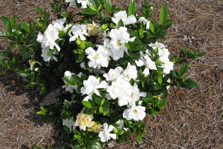Hoa dành dành (kép, lùn) - 0