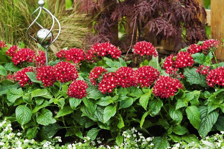 Hoa diễm châu (đỏ) - 0