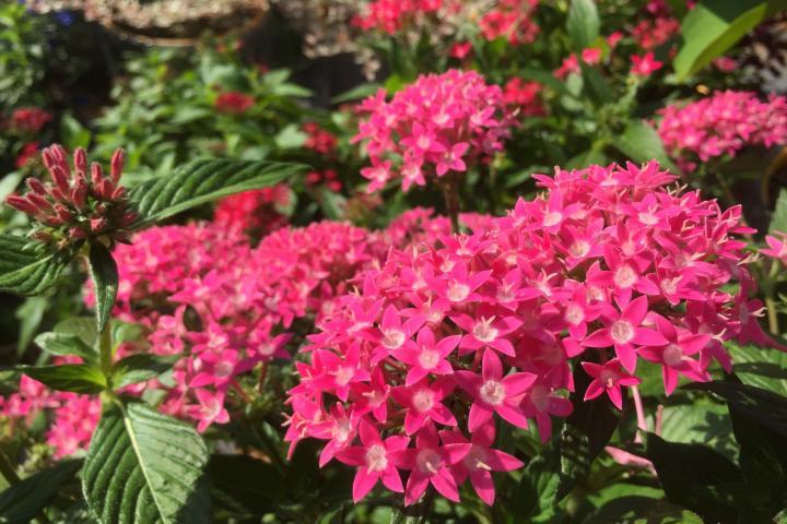 Hoa diễm châu (hồng nhạt) - 0