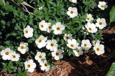 Hoa đông hầu (trắng) - 0