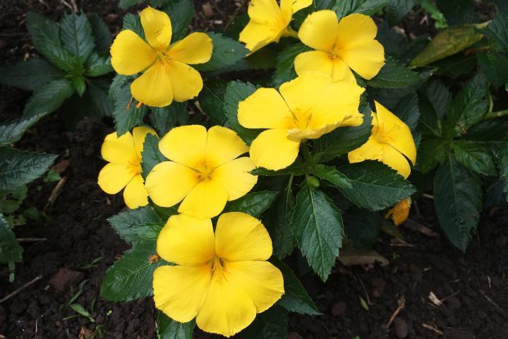 Hoa đông hầu (vàng) - 0