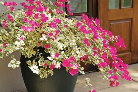 Hoa giấy cẩm thạch (hồng đậm) - 0