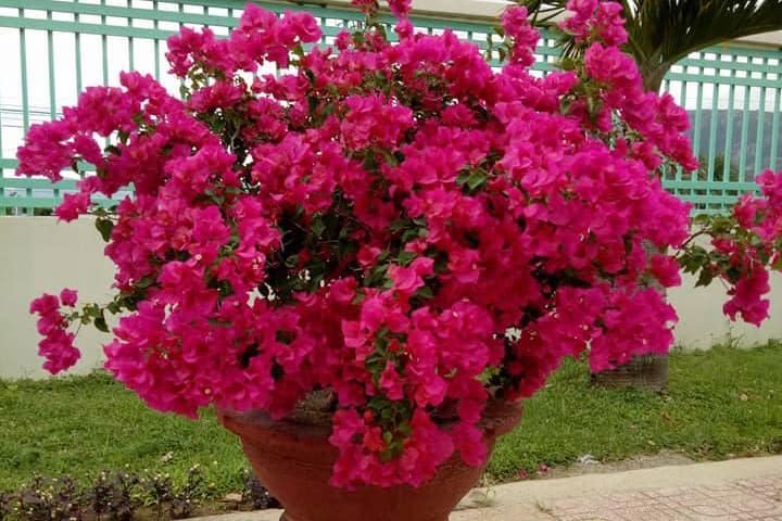 Hoa giấy (hồng đậm) - 0