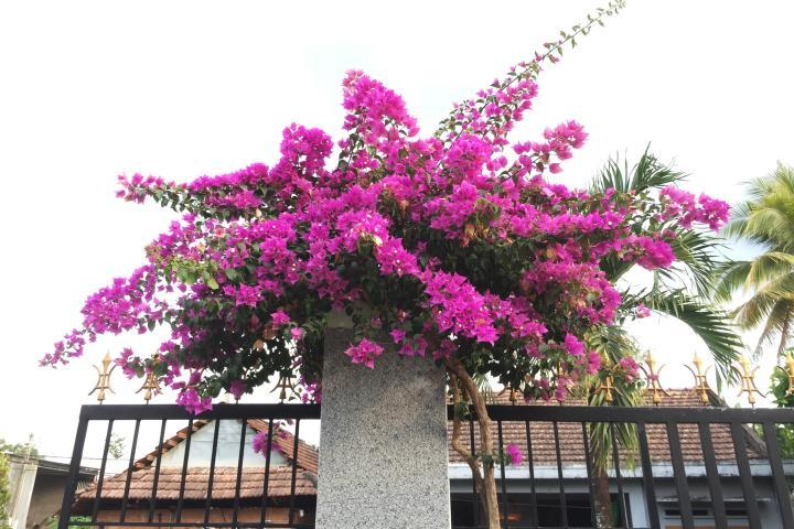 Hoa giấy (hồng nhạt) - 0