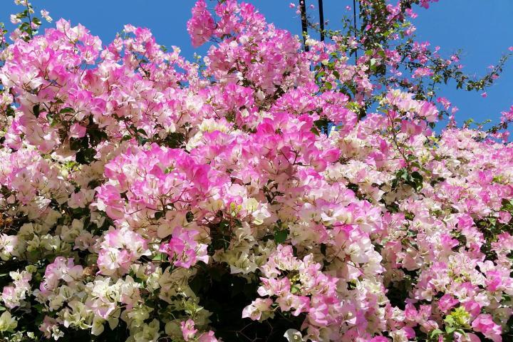 Hoa giấy (hồng phớt) - 0