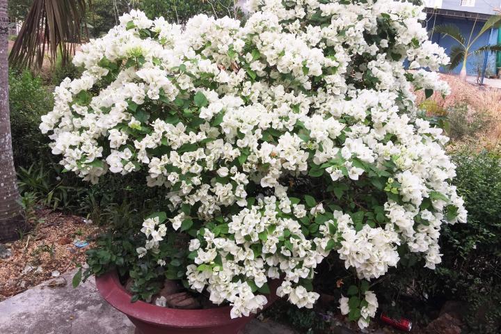 Hoa giấy (trắng) - 0