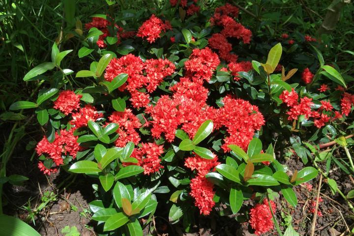 Hoa trang (đỏ, lùn, kép) - 0