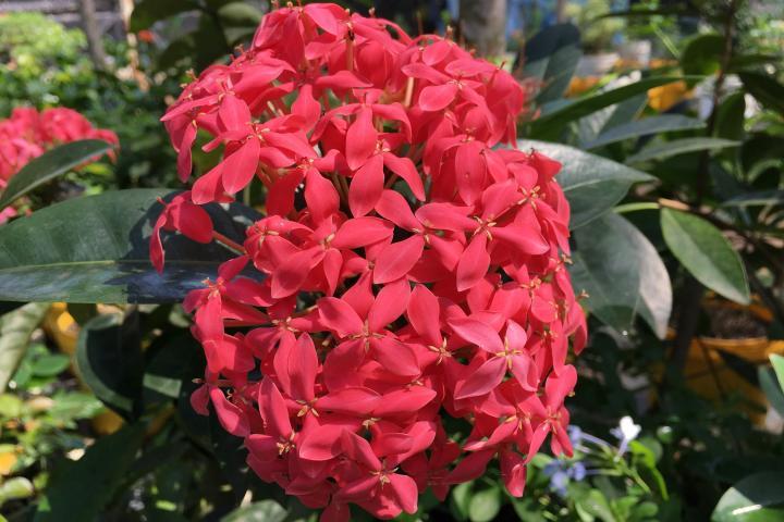 Hoa trang (hồng, cao) - 0