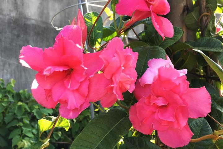 Hoa hồng Anh (kép) - 0