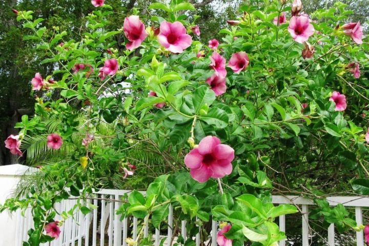 Hoa huỳnh anh (hồng, leo) - 0
