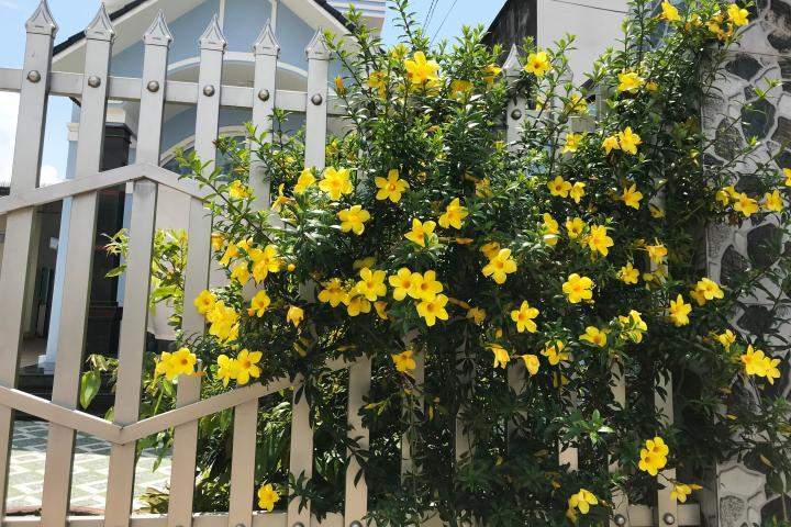 Cây Hoa Huỳnh Anh (Vàng, Đứng)