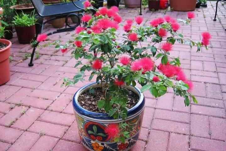 Hoa kiều hùng (đỏ, lá lớn) - 0