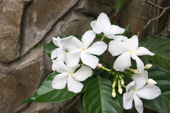 Cây Hoa Lài Tây