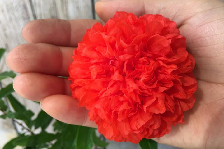 Cây lựu hạnh (hoa đỏ, kép) - 0