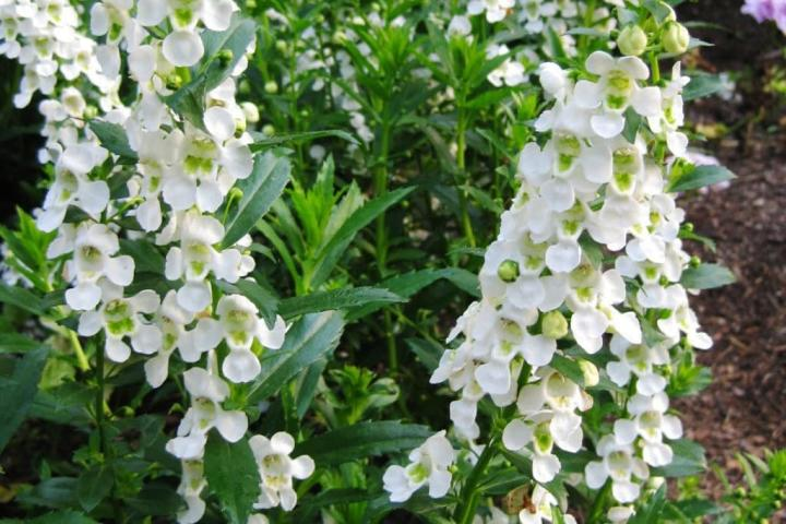 Hoa ngọc hân (trắng) - 0