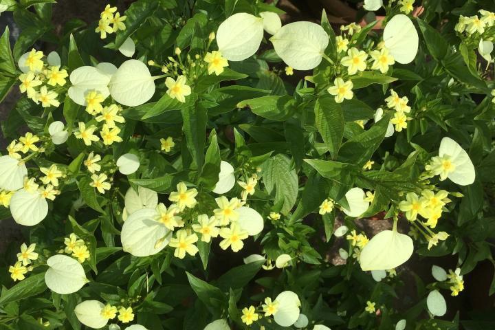Hoa ngọc mai - 0