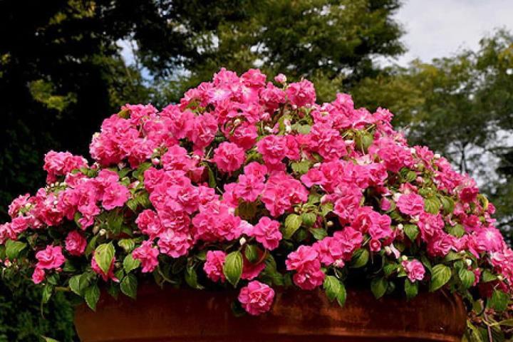 Hoa ngọc thảo (hồng đậm, kép) - 0