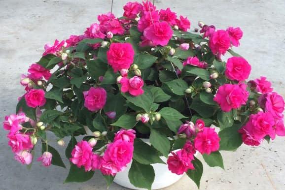 Hoa ngọc thảo (hồng nhạt, kép) - 0