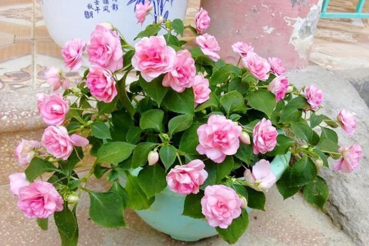 Hoa ngọc thảo (hồng phấn, kép) - 0