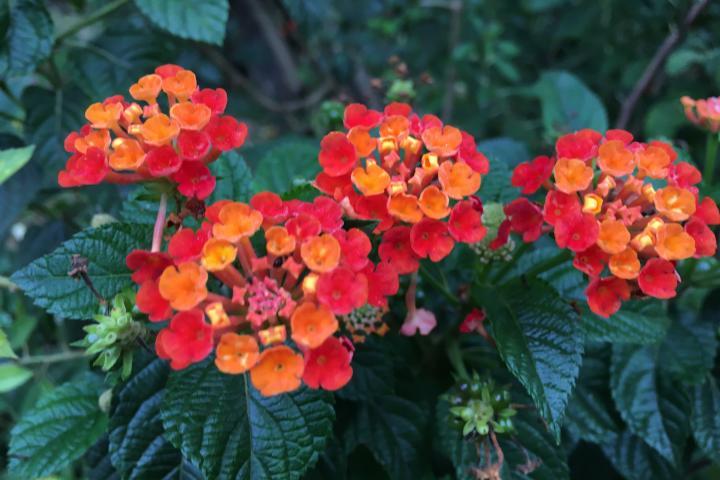 Hoa ngũ sắc (đỏ Mỹ) - 0