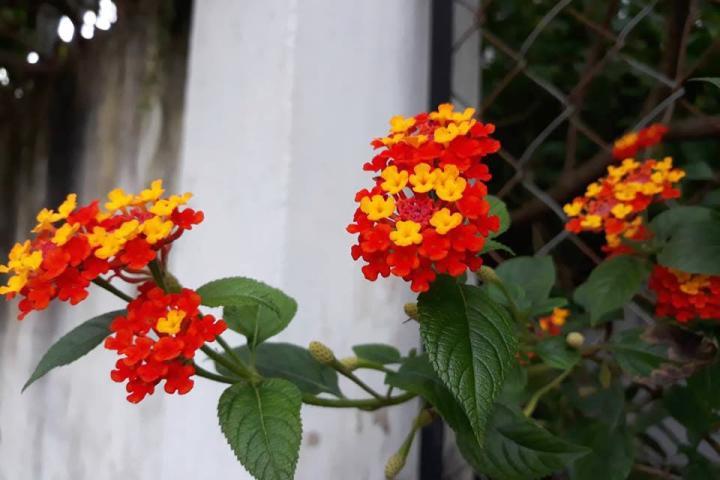 Hoa ngũ sắc (đỏ) - 0